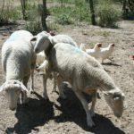 Schafe und Hühner