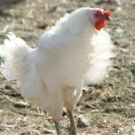 Huhn schlägt mit den Flügeln