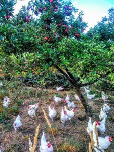 Les Bleues Bio Hühner im Garten
